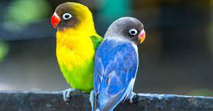 Analisa Usaha Ternak Burung Hias LoveBird