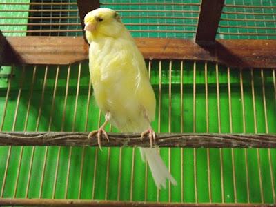 Perhatikan 5 Hal ini, jika Anda ingin Sukses Beternak Burung Kenari