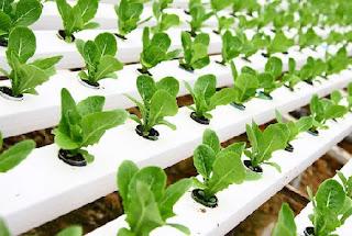cara menanam hidroponik kangkung,cara menanam sayuran hidroponik sederhana,cara menanam sayuran hidroponik di rumah,budidaya sayuran dengan cara hidroponik,