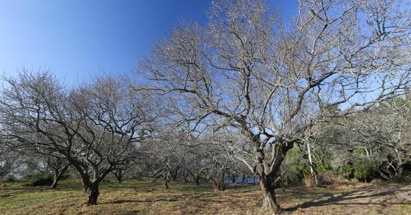 南投中寮|中寮秘境百年劉家梅園|一百多棵老梅樹大爆發|洞九山莊露營區