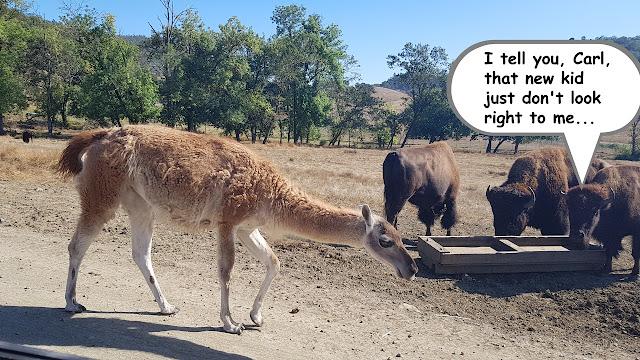 A llama mingles with the bison at Oregon's Wildlife Safari...