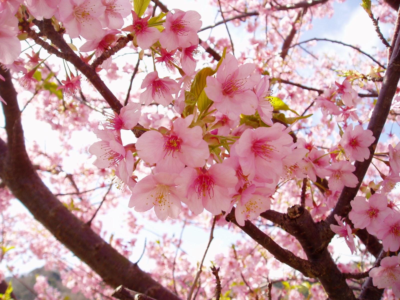 For Our Japan: 日本國花是?櫻花?