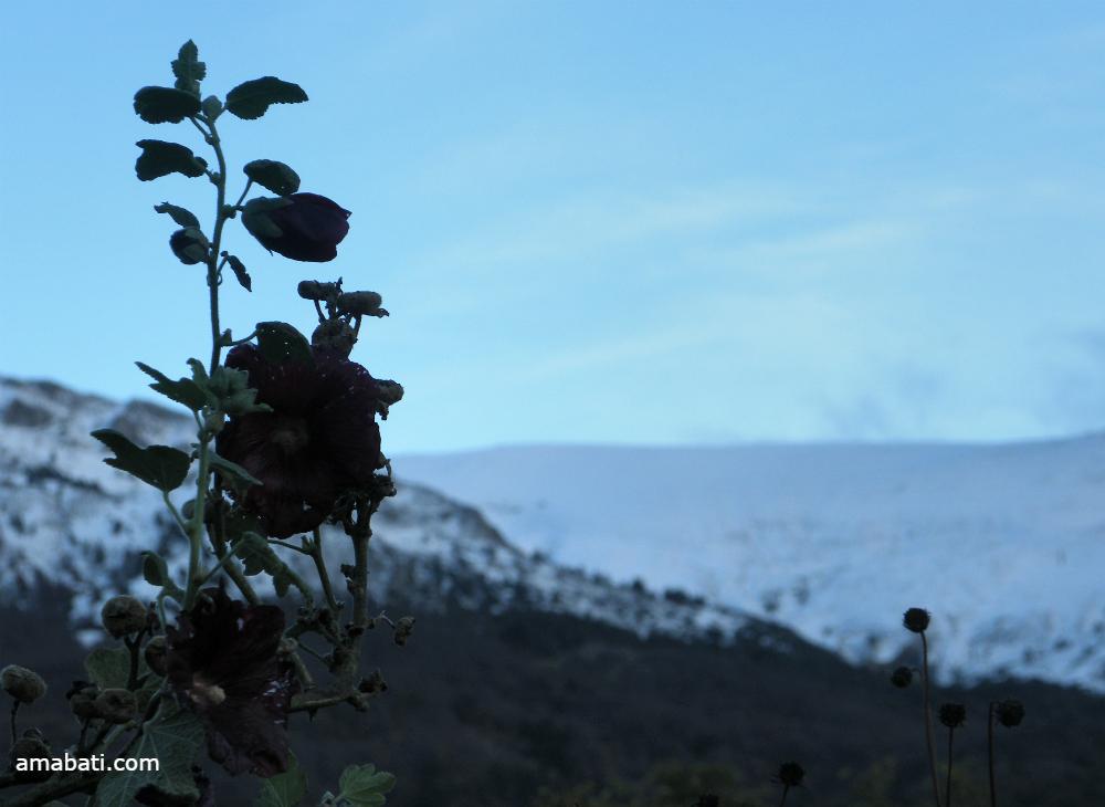 Rose trémière à Vergons