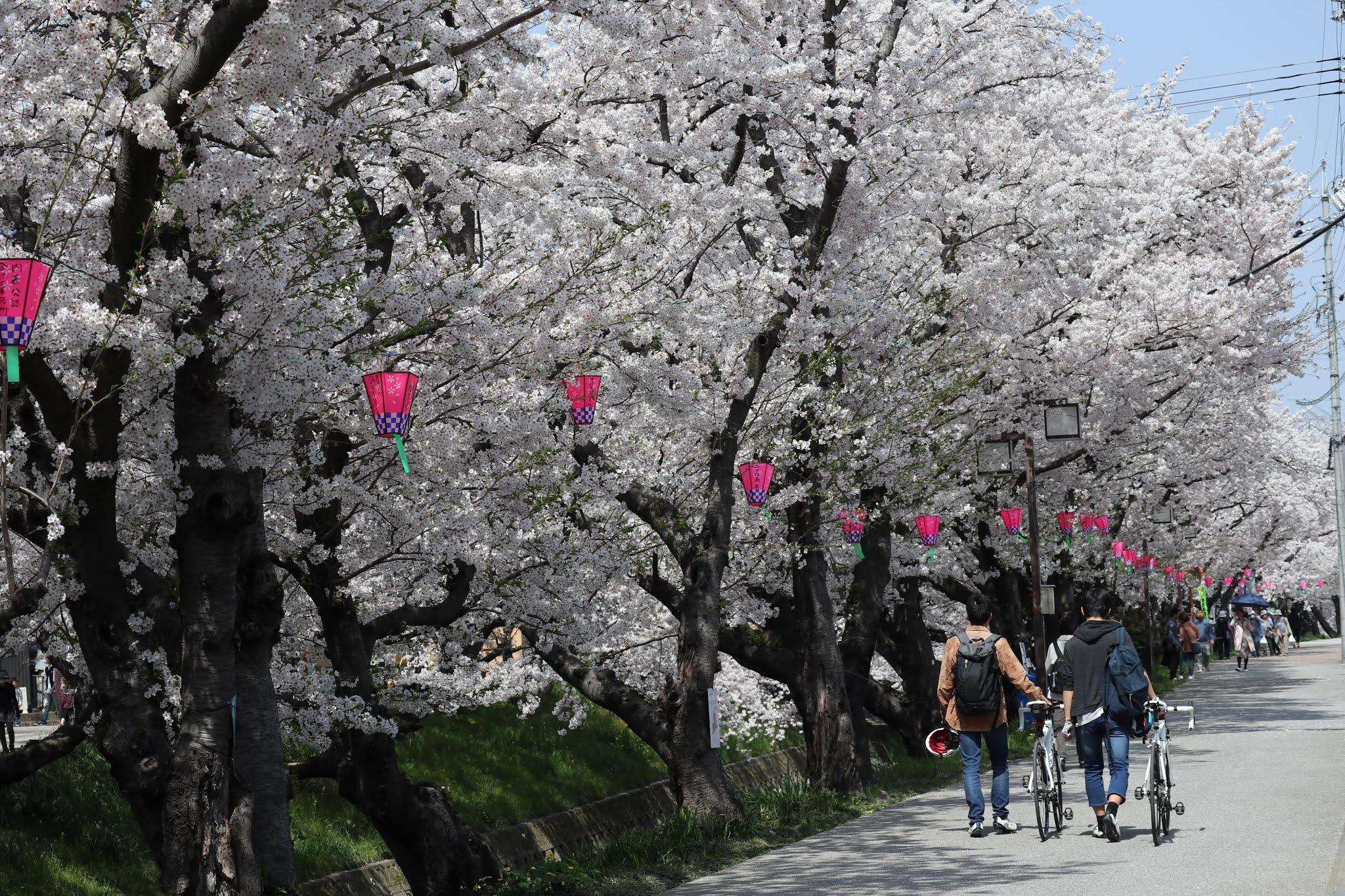 岩倉桜まつり11