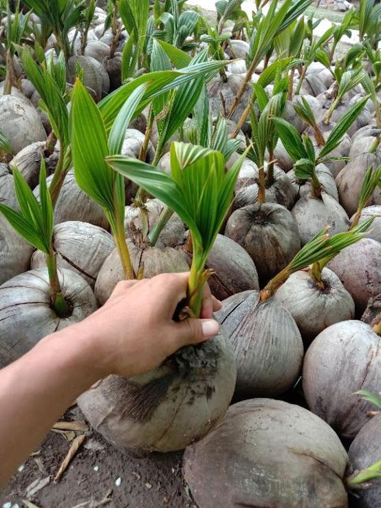 bibit kelapa hijau hibrida pendek Pekanbaru