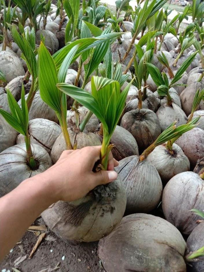 bibit kelapa hijau hibrida pendek Padang Sidempuan