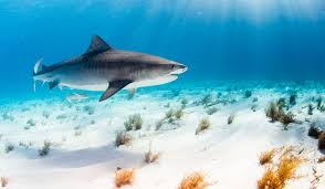 शार्क स्तनधारी हैं?