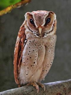 Makanan Burung Hantu Berdasarkan Jenisnya Drh Fira Sovica