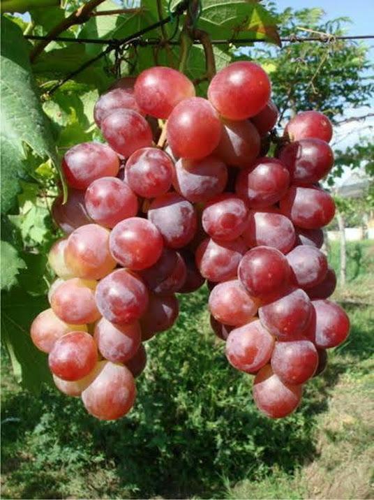 Bibit Tanaman Buah Anggur Red California Ambon