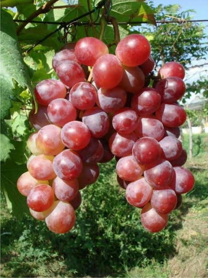 Bibit Tanaman Buah Anggur Red California Sumatra Barat