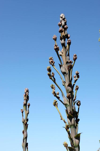 "Mangave ""Mission to Mars"" flower stalk closeup"