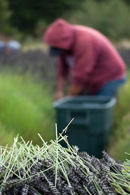 Harvesting Fresh Organic Lavender at Pelindaba Lavender Farm