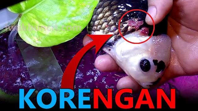 Muncul Koreng Borok Kemerahan di Badan Ikan Mas Koki Kamu? Coba Obat Acriflavine Plus: Ini Tata Cara Karantinanya