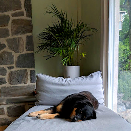 image of Zelda the Black and Tan Mutt sleeping on a chaise below a plant