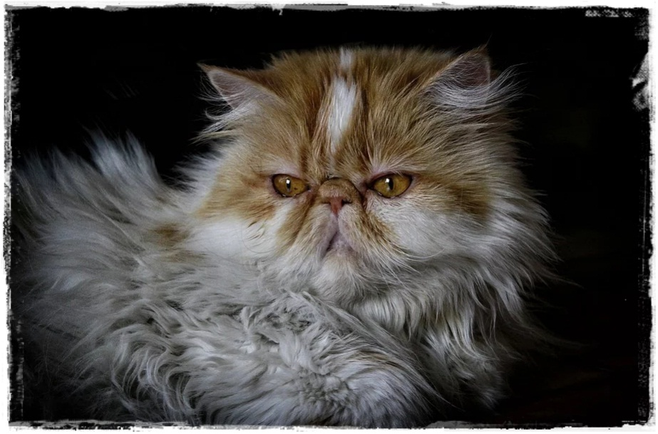 Ciri-Ciri Kucing Persia Asli