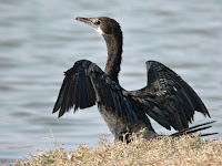Cormorant Animal Pictures