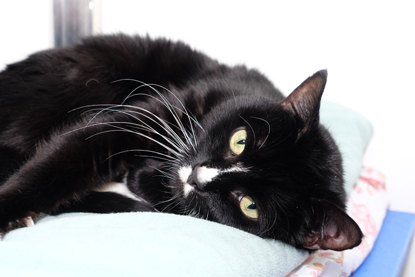 black-and-white cat with little white moustache lying down