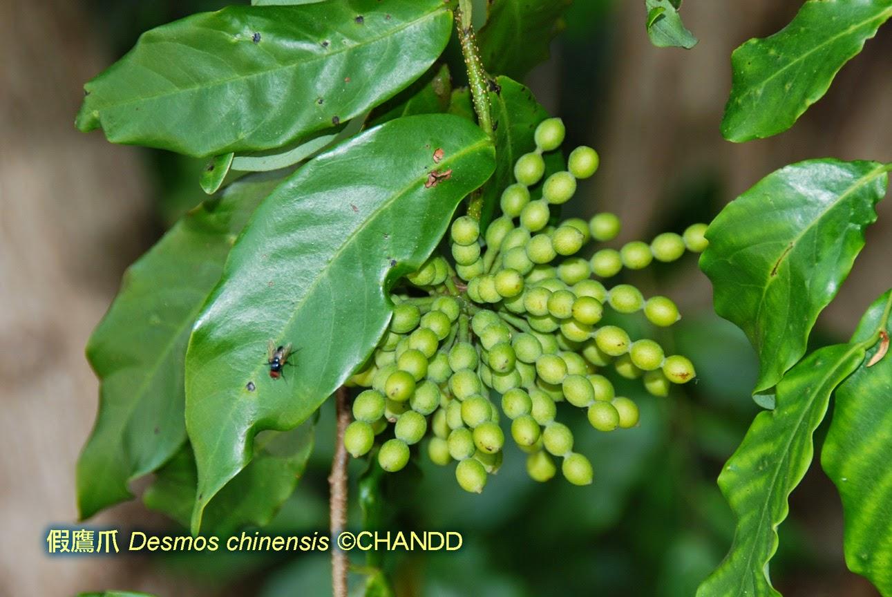 香港野果 Hong Kong Wild Fruits: 假鷹爪(酒餅葉)