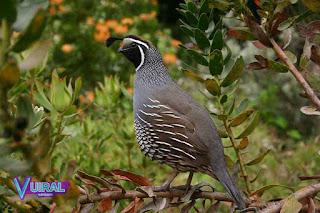 Contoh Hewan Aves - Burung Puyuh