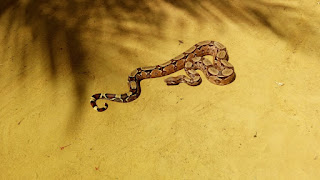 Cobra jiboia é capturada na comunidade Mato grosso, zona rural de Picuí