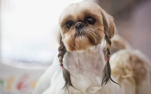 Castraçao de cachorro
