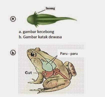 katak bernafas dengan insang paru paru dan kulit