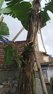Fenomena Pohon Pisang Yang Berbuah Pada Pertengahan Batang Pisang