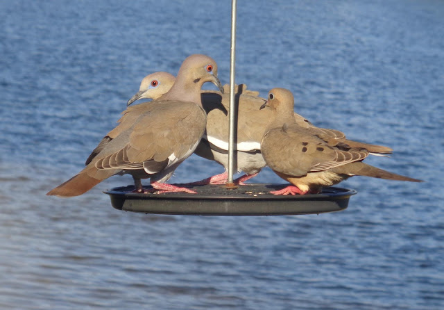 Doves gathered on a feeder