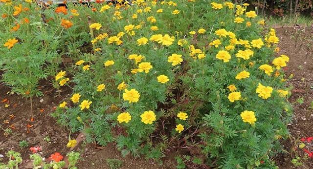 マリーゴールドの咲く花壇