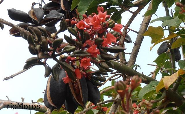 Flores y frutos del árbol de la llama Brachychiton x roseus