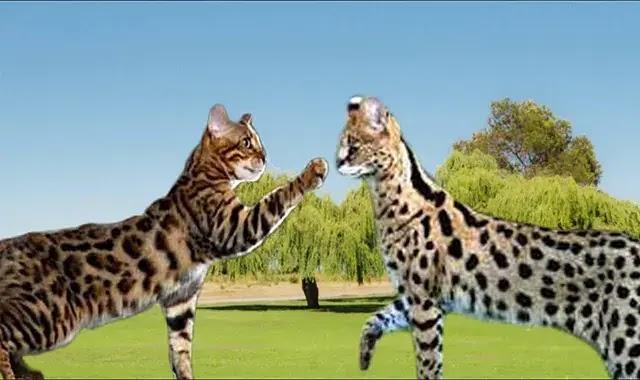 chat du Bengal vs chat de la savane