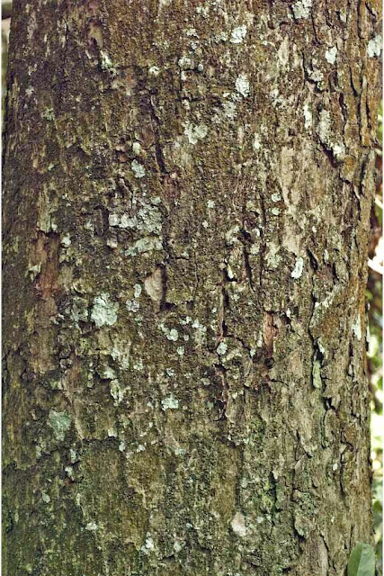 Bogo Tree Bark