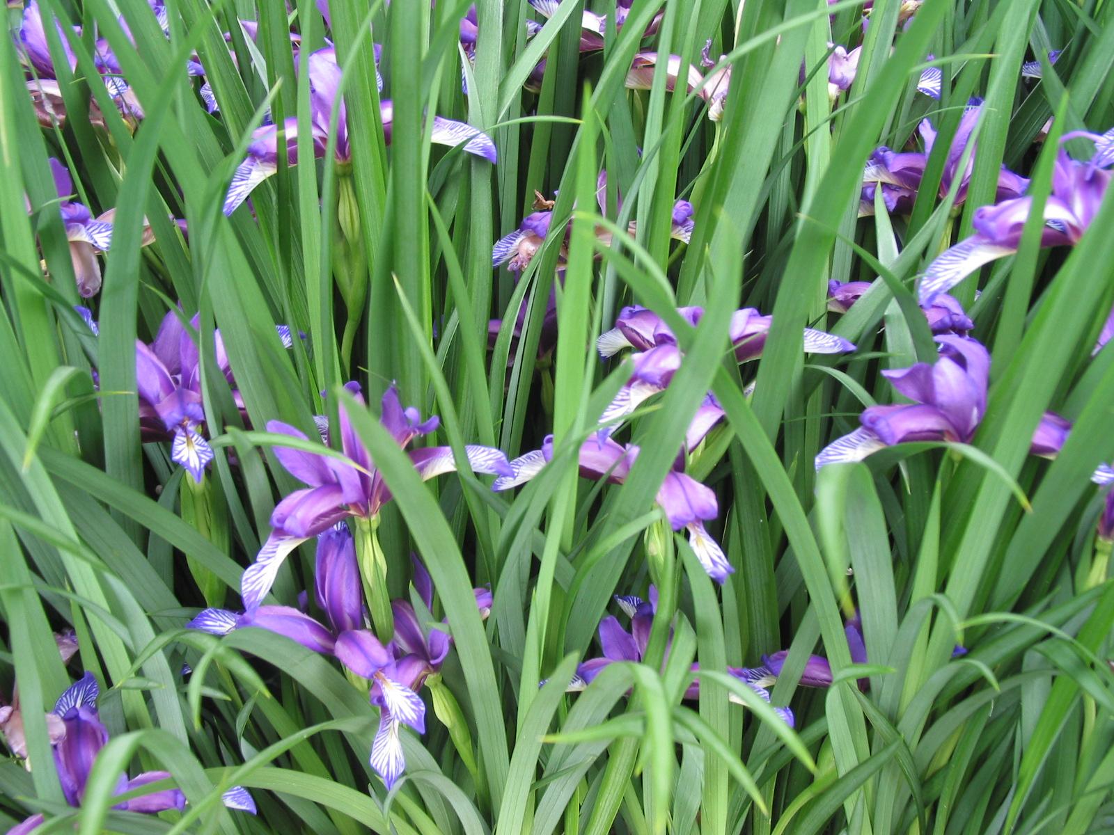 World Of Irises The Plum Scented Iris