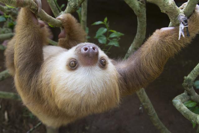 Three-toed dwarf sloth