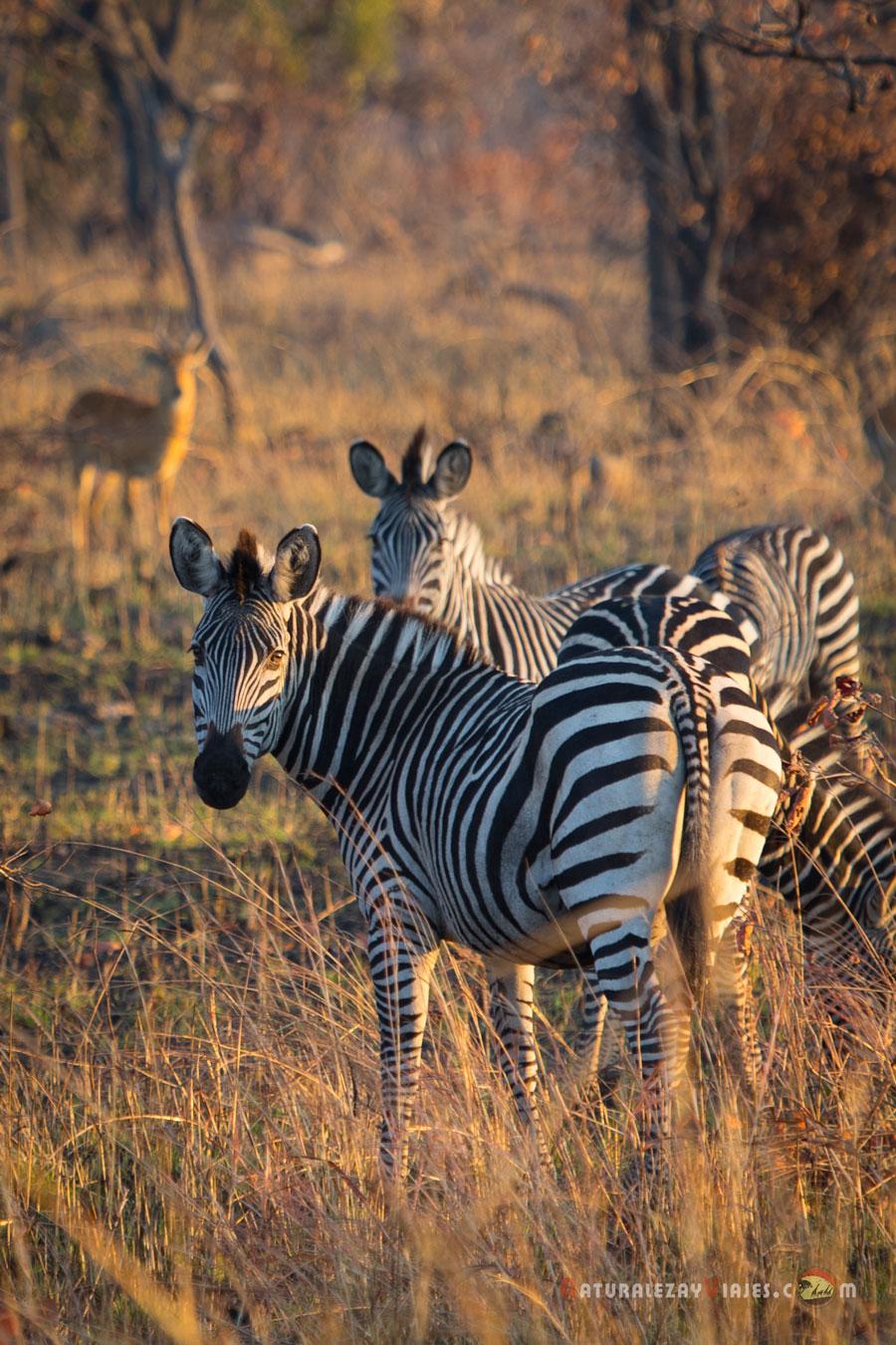 Cebras en Kafue, Zambia