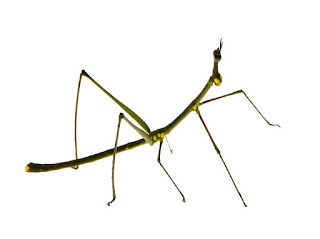 Do stick insects sleep
