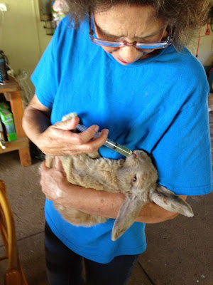 Rescue rabbit being medicated