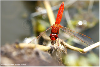 https://ailesetvie.blogspot.com/search/label/Crocothemis%20erythraea