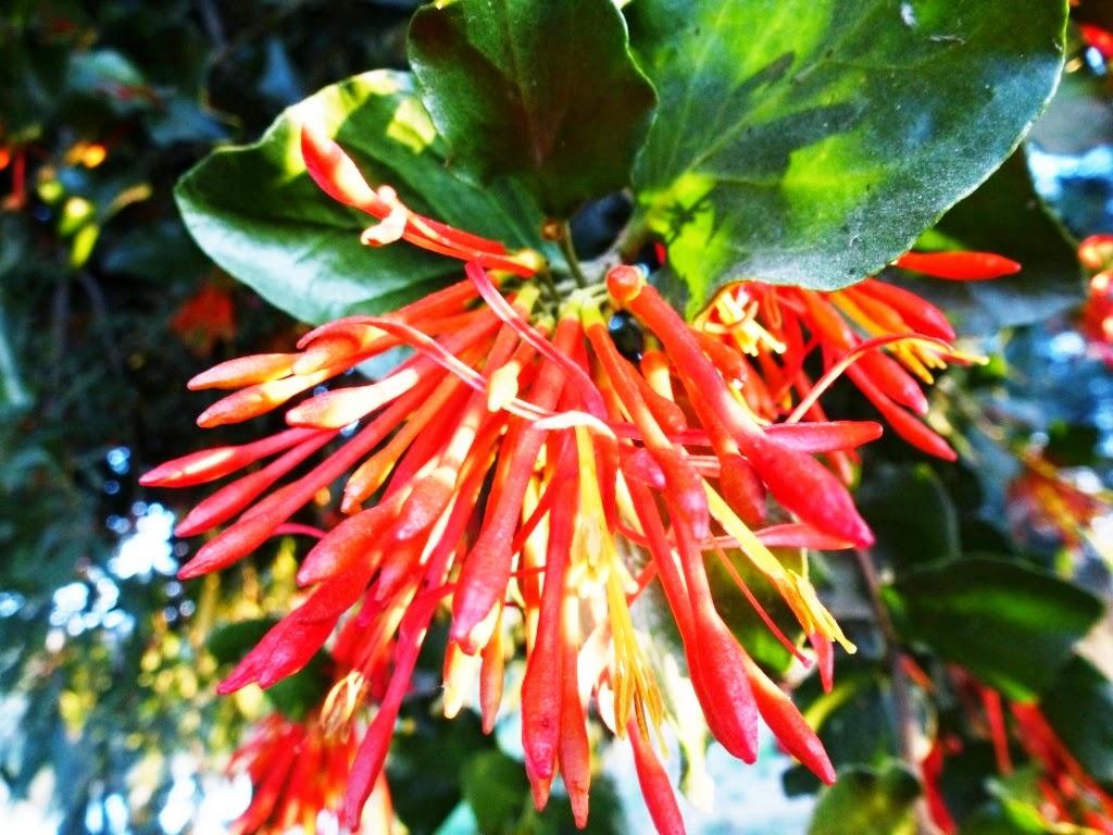 Fernando ruz plantas nativas de chile quintral for Planta de chile