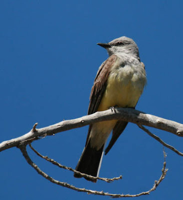 Photo of Western Kingbird in tree branches