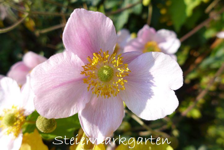 Herbstanemone-Steiermarkgarten