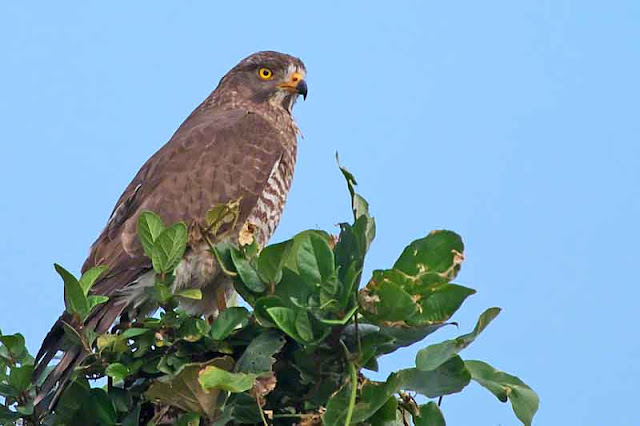 birds, Grey-faced Buzzard, migratory, Okinawa, wildlife