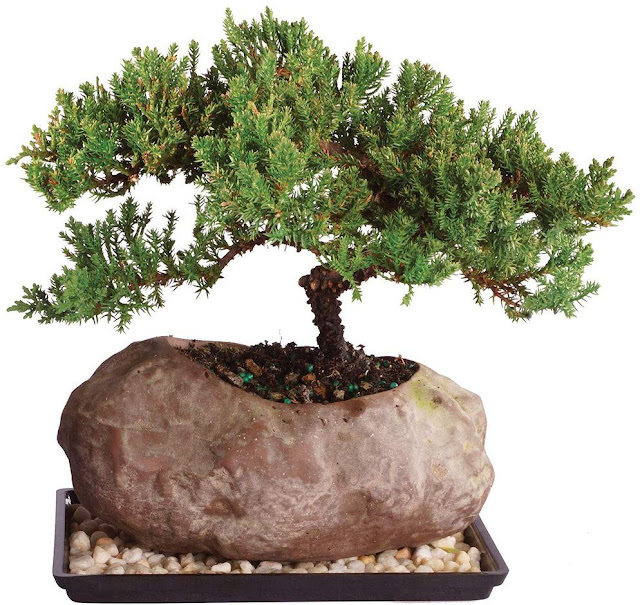 Brussel's Live Green Mound Juniper indoor Bonsai Tree