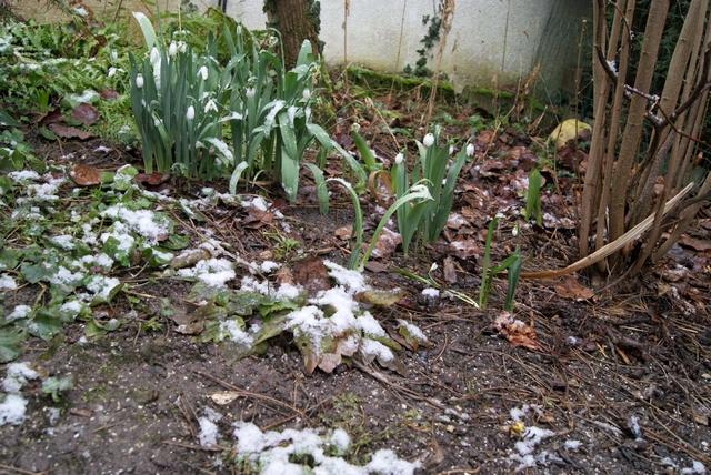 Schneeglöckchen Anfang Februar