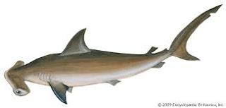 هامرهيد اسم السمكة الذي أطلق على Nexus 5