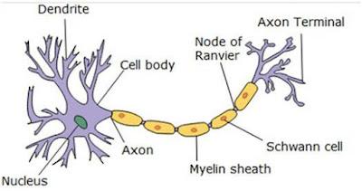 Neuron saraf otonom