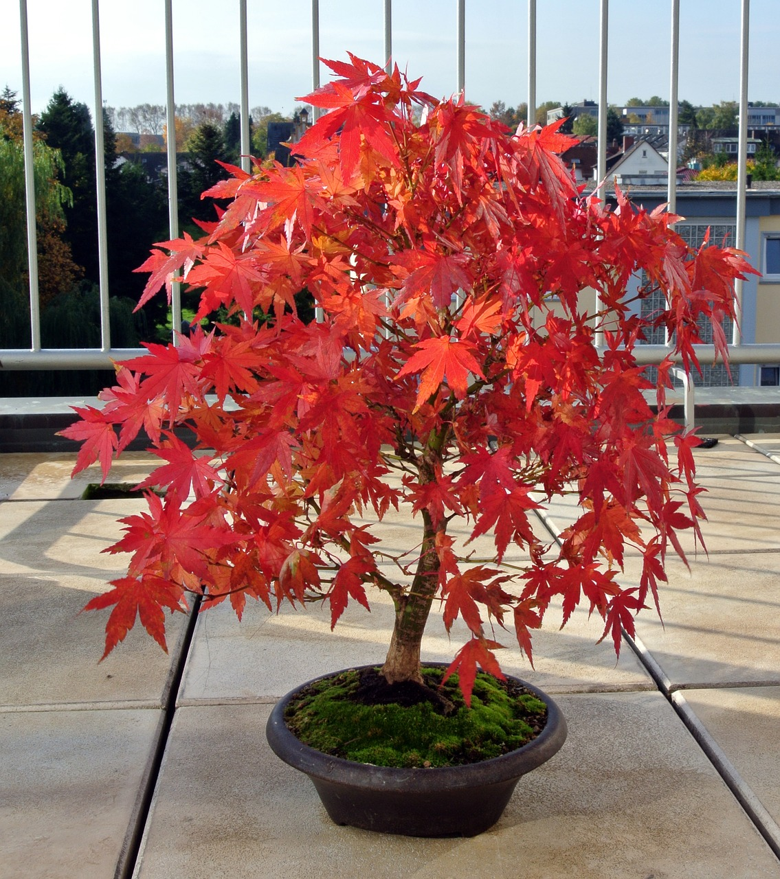 Indoor And Outdoor Bonsai Tree Bonsai Tree Care For Beginners