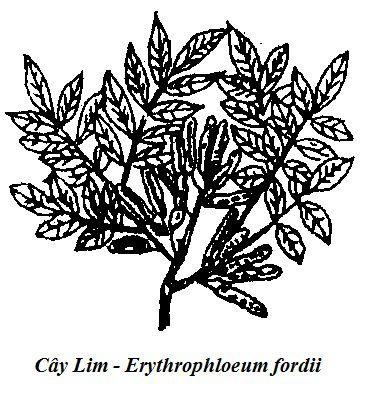 Hình vẽ Cây Lim - Erythrophloeum fordii - Nguyên liệu làm thuốc Có Chất Độc