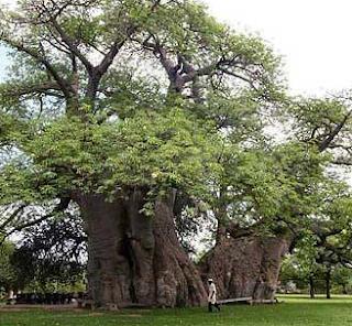 Pohon Gothmog – Pohon Eucalyptus obliqua