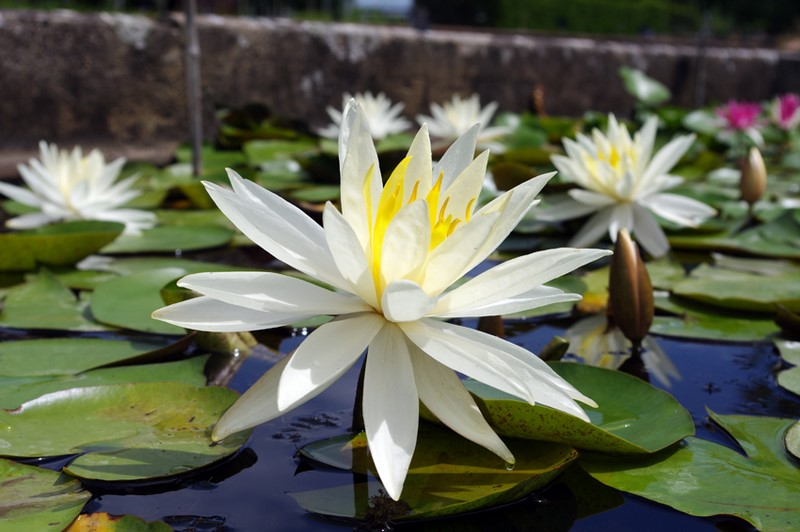 Nymphaea 'Virginia'